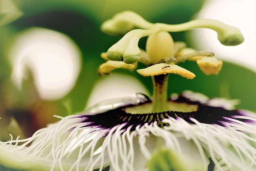 ansia fitoterapia passiflora